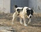 赛级中亚牧羊犬纯种大骨架中亚犬出售 品相好血统纯 大型护卫犬