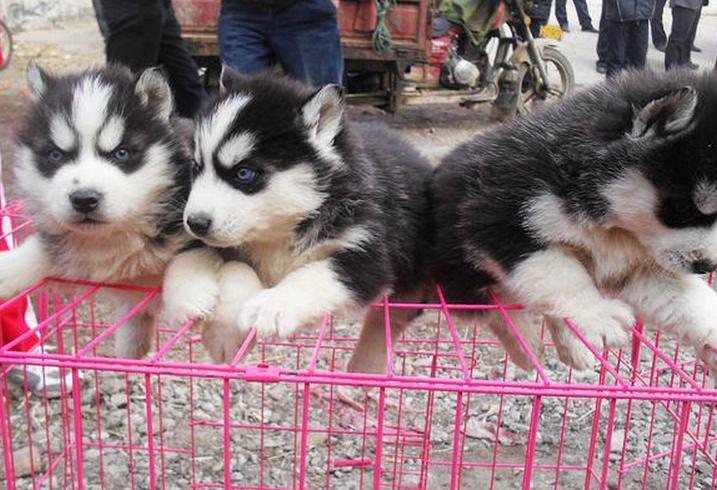重庆低价出售 德牧 哈士奇萨摩 拉拉 金毛犬 边牧阿拉品种多