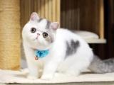 大廠種英短藍貓英國短毛貓寵物貓活體幼貓活體寵物貓