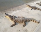 鳄鱼肉 活体鳄鱼出售