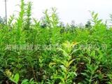 果树苗/果苗 最新软籽石榴树苗品种-中农
