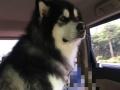 黑十字阿拉斯加雪橇犬