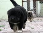 自家大狗生的一窝高加索可以来家里看大狗品相
