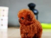 犬舍直销多只泰迪在售公母均有 健康纯种