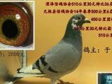 出售信鸽 成绩鸽 公棚鸽 名家鸽 血统鸽 观赏鸽天