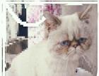 可爱的发情加菲猫
