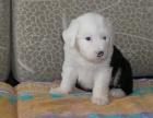 东莞纯种古代牧羊犬价格 东莞哪里能买到纯种古代牧羊犬