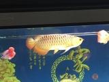 热带鱼金龙鱼处理