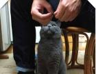 CFA皇家猫舍出售 蓝猫 协议质保三个月京津冀送货