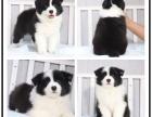 本地犬舍出售纯种银狐犬 双血统带证书