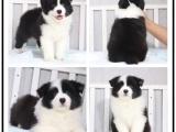 本地犬舍出售纯种圣伯纳 双血统带证书