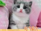出售 英短蓝白猫活体 纯种活体蓝猫加白幼猫 正八字