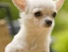 上海狗舍出售纯种小体苹果头大眼睛吉娃娃幼犬