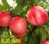 寿光桃树苗|潍坊桃树苗种植基地