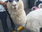 上海金山区草泥马出租-租赁小驼羊-羊驼转租-婚礼庆典展示