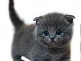 安徽合肥纯血蓝猫低价出售
