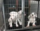 两个月的杜高犬多少钱一条 杜高犬价格