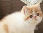 加菲猫宠物猫活体加菲猫纯种幼猫加菲猫蓝白幼猫纯种