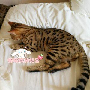 纯种豹猫出售 疫苗做齐 终身质保签协议