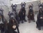 高级护卫犬卡斯罗,保纯、保活、正规犬舍,签署协议