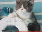 蓝白猫咪活体纯种宠物猫咪异国短毛猫活体猫咪送货到家