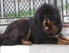 苏州本地犬舍出售2个多月的,藏獒,血统纯种,保证健康