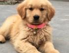 赛级金毛犬 高端品质的选择 证书齐全 签订协议
