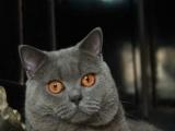 柚子猫舍繁育精品英短系列和加菲宝宝