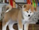 重庆哪里出售秋田犬 重庆宠物店信誉好