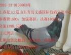 长期出售公棚鸽,特比鸽,成绩鸽,本人广东潮州人,店在潮州