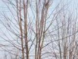 银杏红枫法桐园林花卉绿化苗木销售