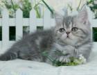 加菲猫宠物活体异国短毛猫银虎斑妹妹