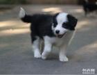 出售纯种边境牧羊犬幼犬品质保证公母全有 边牧价格