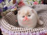 南京哪里卖加菲猫 南京加菲猫猫舍