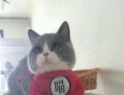 山西太原萌猫生活馆---优秀血统!未来种公欣赏