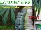 日本钢葱种植新技术 日本铁杆大葱种植技术日本大葱种子种植技术
