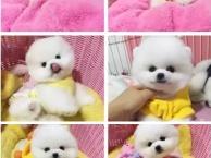 重庆哪里有宠物出售 重庆阿拉斯加多少钱 重庆金毛价格