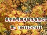 供应日本红枫橙之梦,日本红枫新品种
