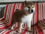 本溪里卖柴犬里有纯种柴犬卖日系柴犬价格
