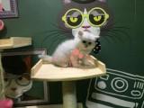潍坊金吉拉多少钱 潍坊哪里出售的金吉拉幼犬价格最便宜