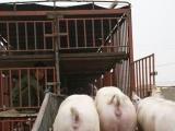山东仔猪供应交易j基地