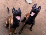 双血统马犬  服从度高