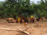 武汉农村散养土鸡蛋1.2元一个首选武汉鹤山土鸡