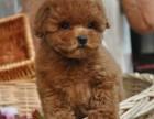 周二特卖日家养小体泰迪幼犬 宠物泰迪狗狗送货上门