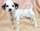 斑点犬 常年销售 包细小犬瘟冠状 包防疫包纯种