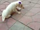本地精品灵提 全国可发货 支持视频选狗 可签订协议