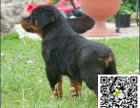 本地哪里有犬舍能买到纯正罗威纳犬多少钱一只罗威纳种犬