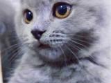 广州转英短蓝猫