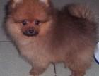 拒绝星期狗 专业繁殖博美犬 可货到付款 可基地挑选