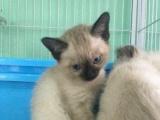 海豹重点色暹罗猫 家庭式繁殖 纯种健康活体